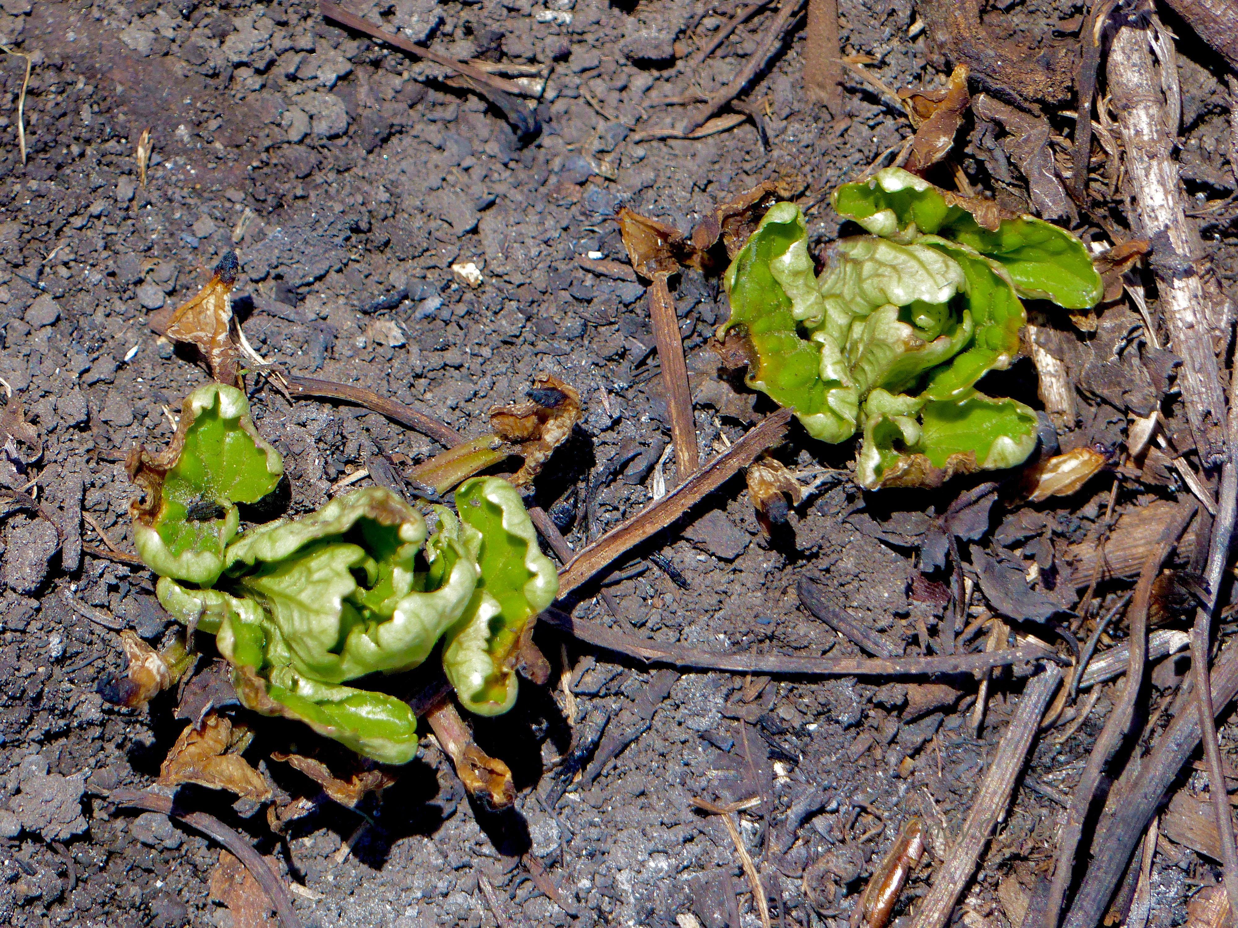 indianplantainSPMA42218watermark.jpg
