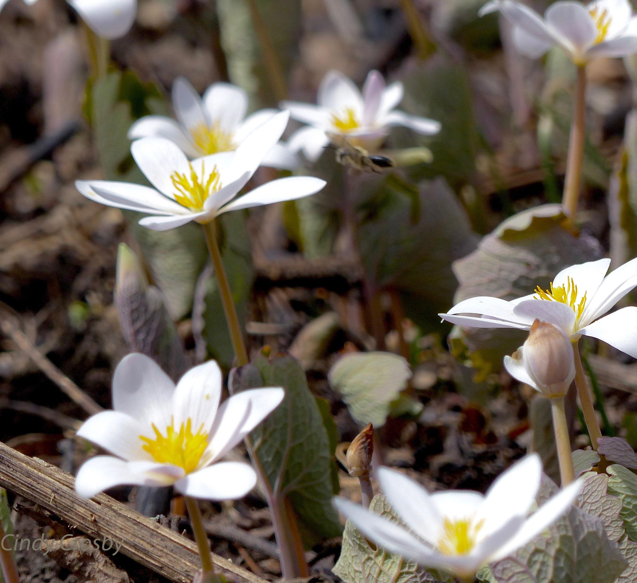 pollinatorbloodroot42618SPMAwm.jpg