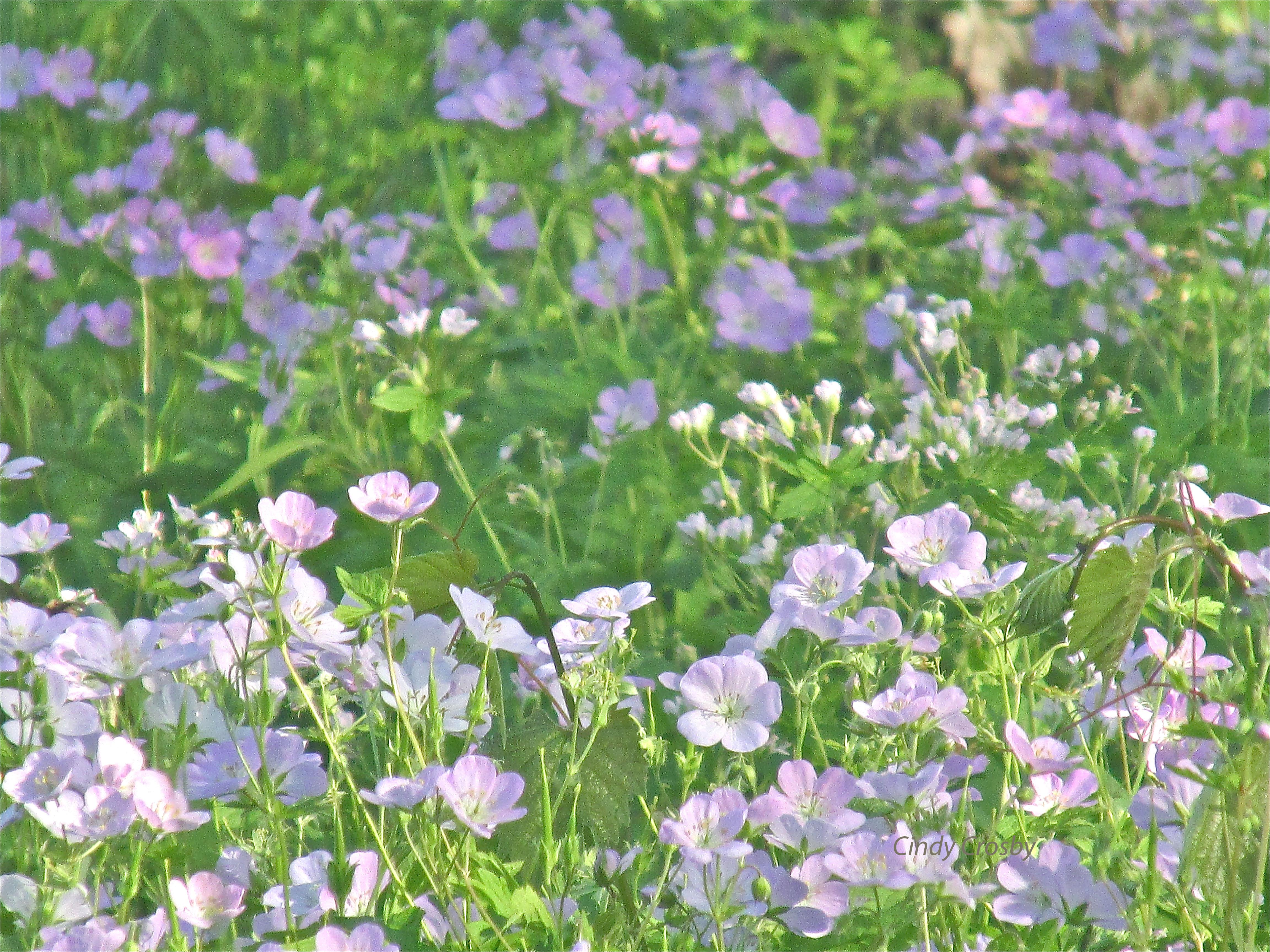 Wild geraniums MAEW2017watermark.jpg