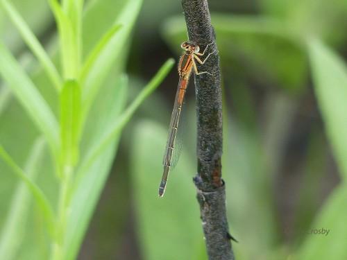 femaleeasternforktailSPMA51918wm.jpg