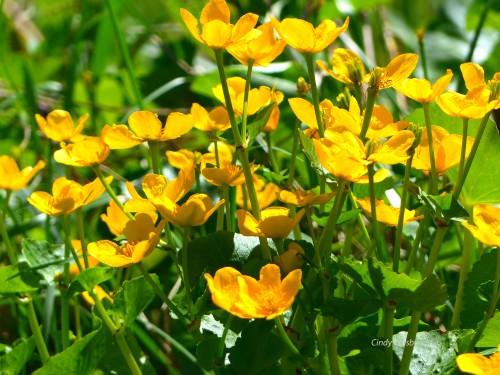 marshmarigolds5618wmGE.jpg