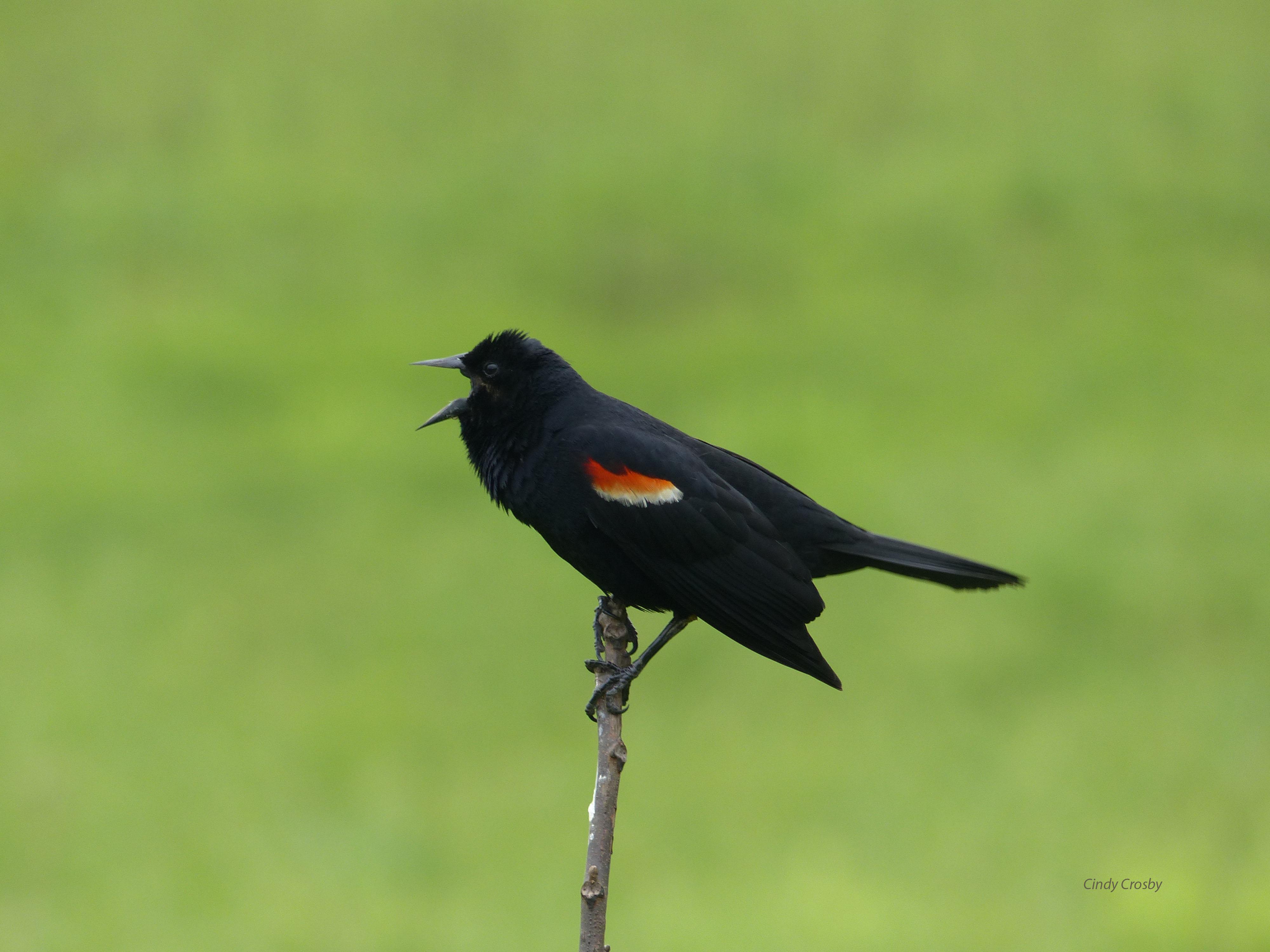 rewingblackbirdSPMA52218.jpg