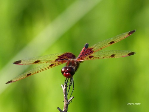 Calico Pennant MaleWM 6918 SPMAUPPERLOOP.jpg