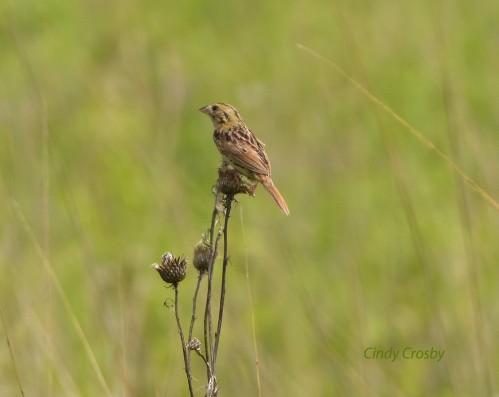 Henslows SparrowNG53118wm.jpg