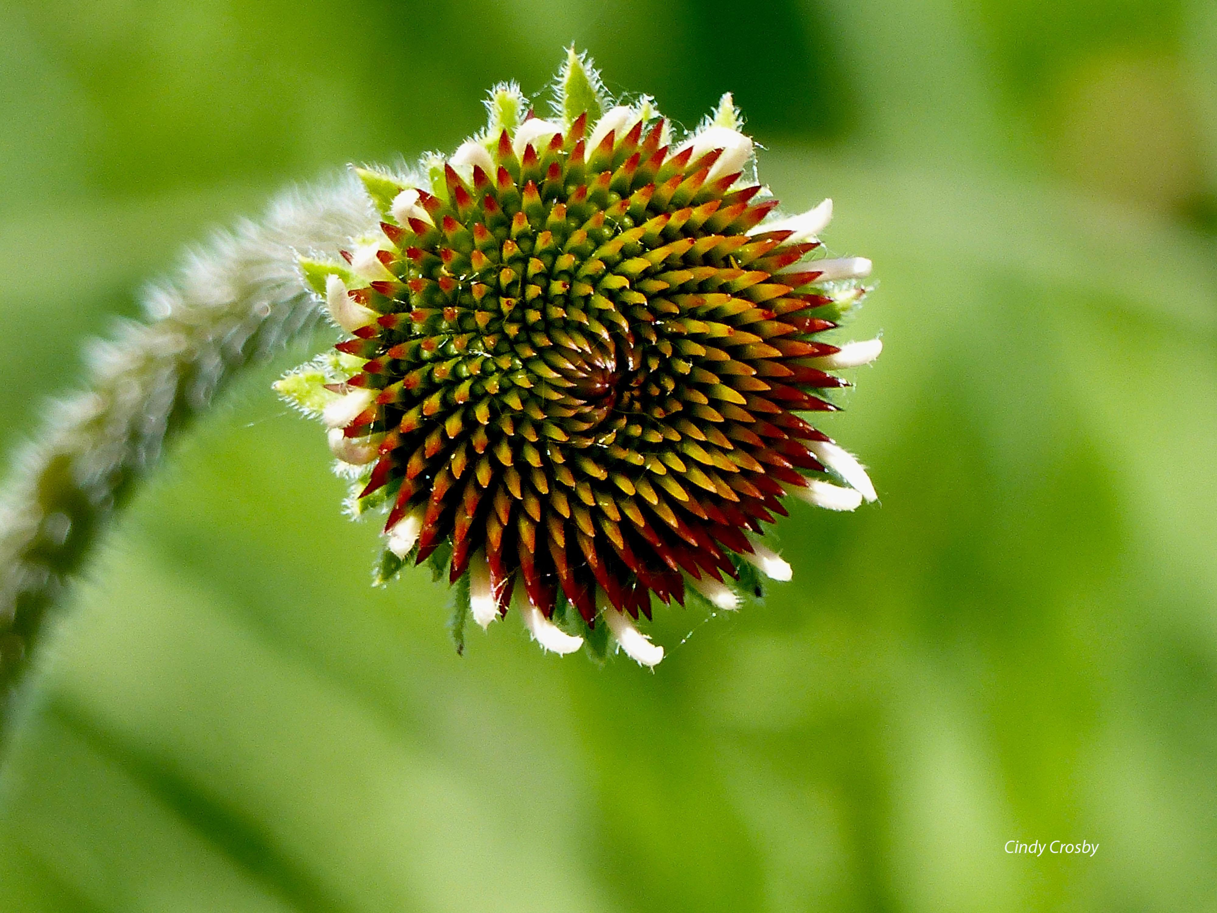 palepurpleconeflower6418wmSPMAprebloom.jpg