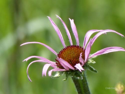 palepurpleconeflowerSPMA618wm.jpg
