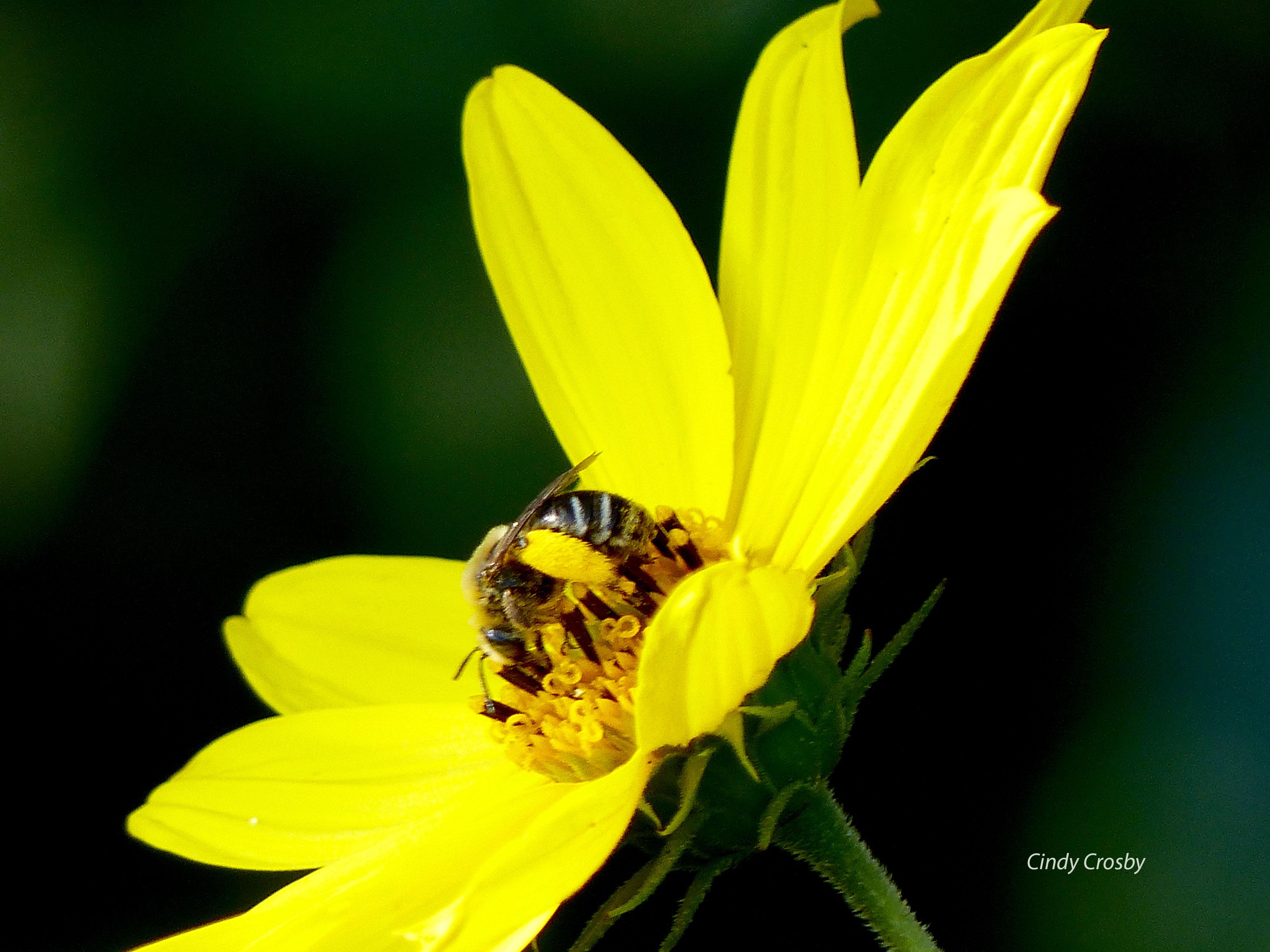 beeonwoodlandsunflowerWM73018NG.jpg