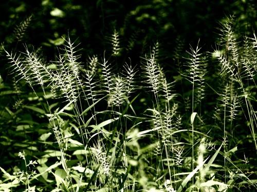 bottlebrushgrassSPMAsavWM71018.jpg