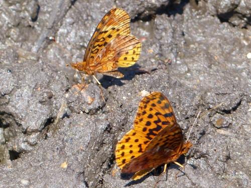 butterfliesNG72318WM