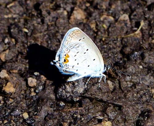 easterntailedbluebutterflyfermilab62918wm.jpg