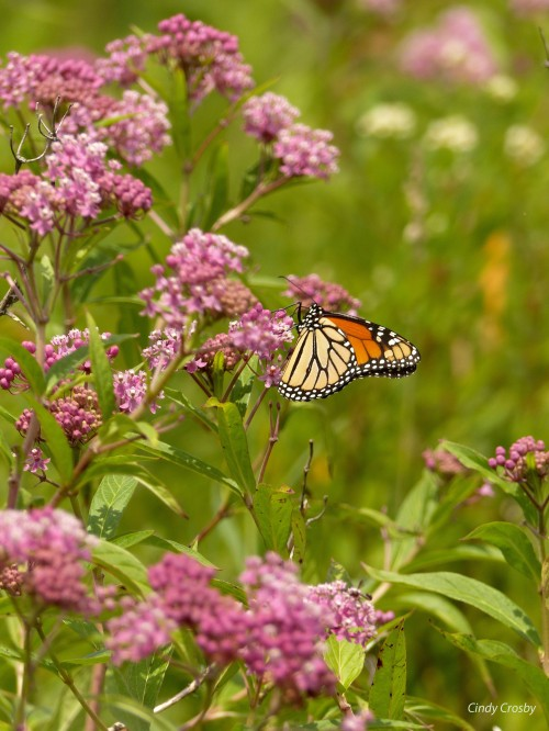 monarchbutterflyonswampmilkweedNG72318WM