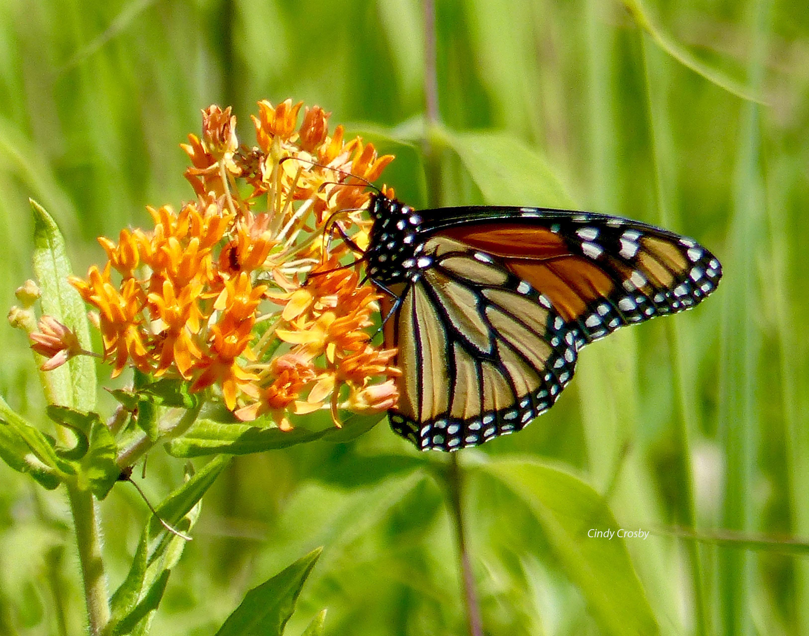 monarchonmilkweedwmSPMA7818.jpg