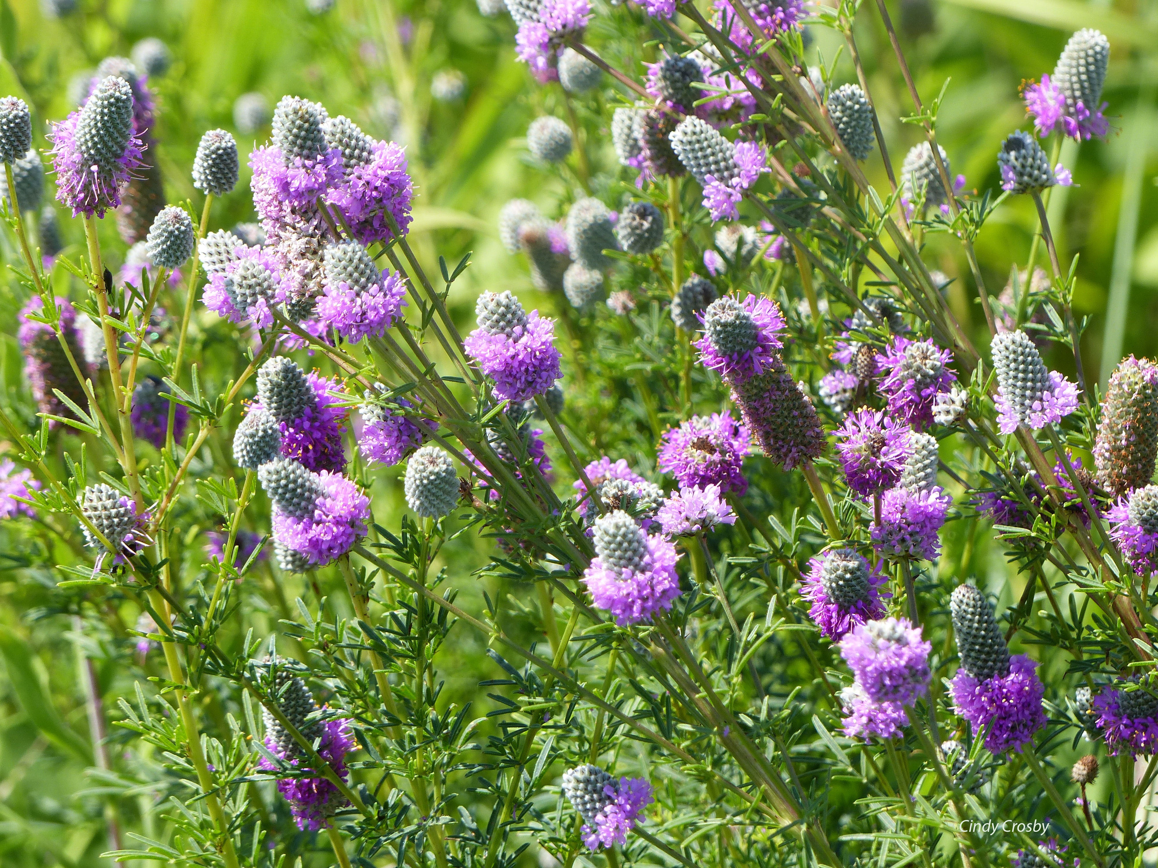 Purple Prairie Clover 7918 SPMAwm