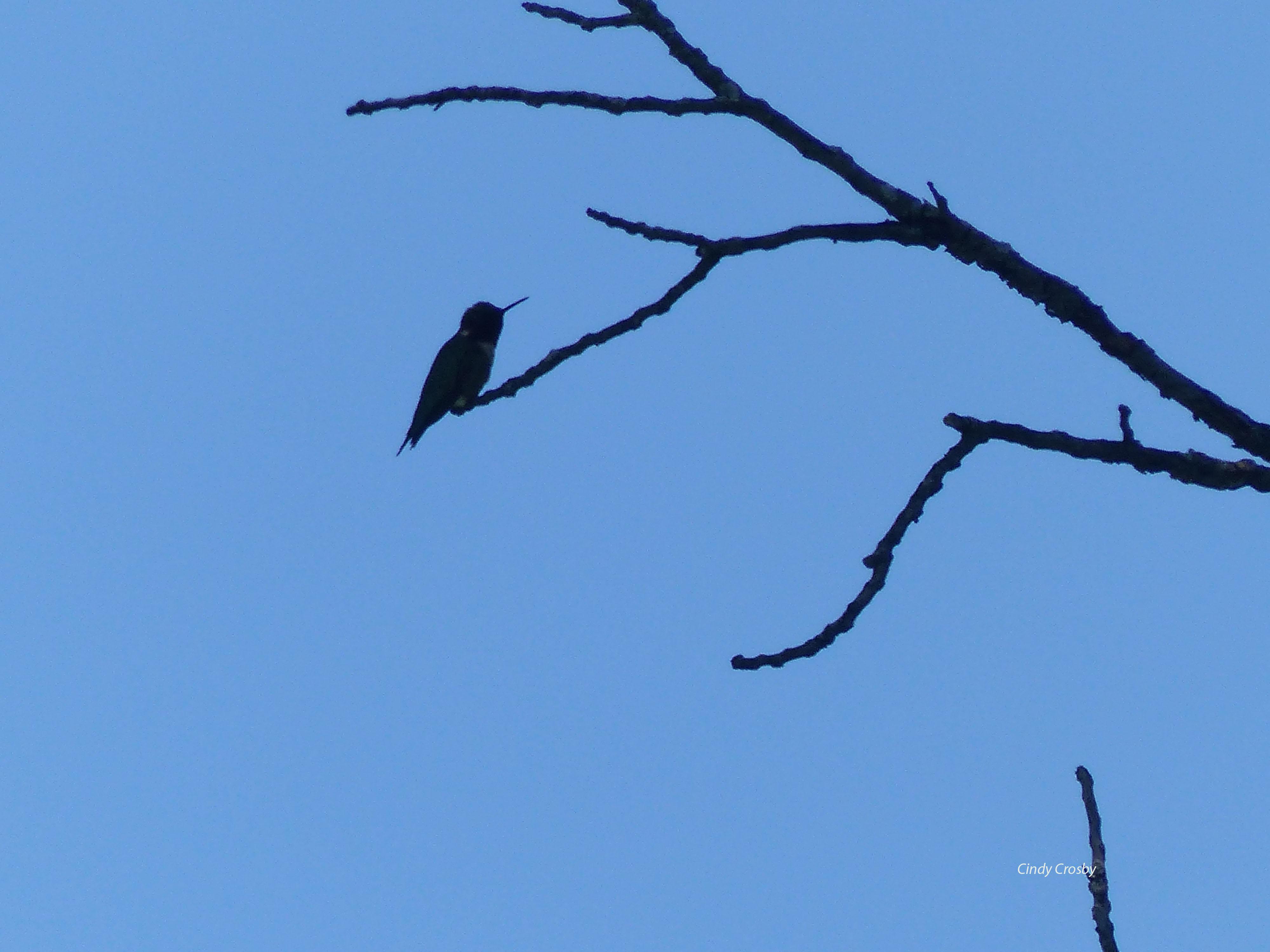 rubythroatedhummingbird7818SPMAwm.jpg