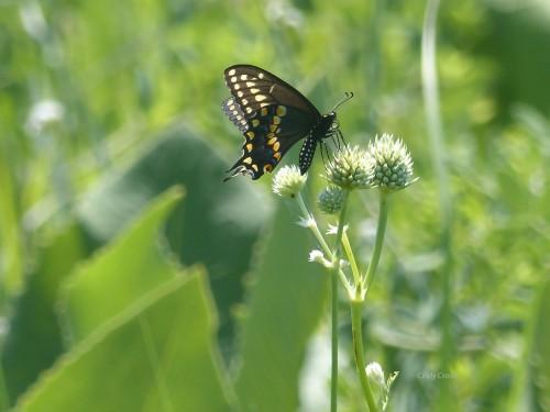 swallowtailSPMA7218.jpg