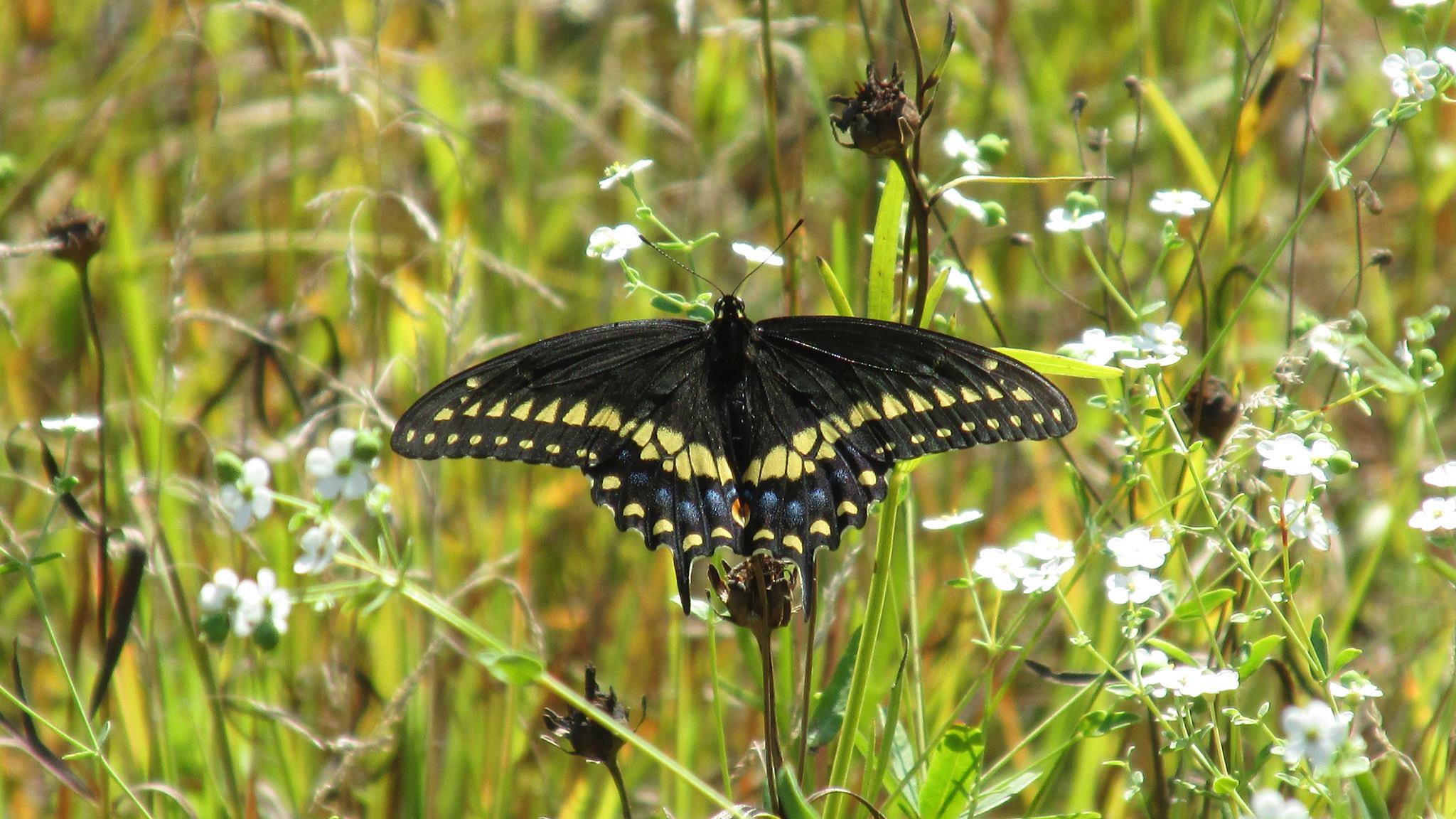 black swallowtail 2013 NG.jpg