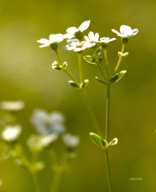 floweringspurgeSPMA818wm.jpg
