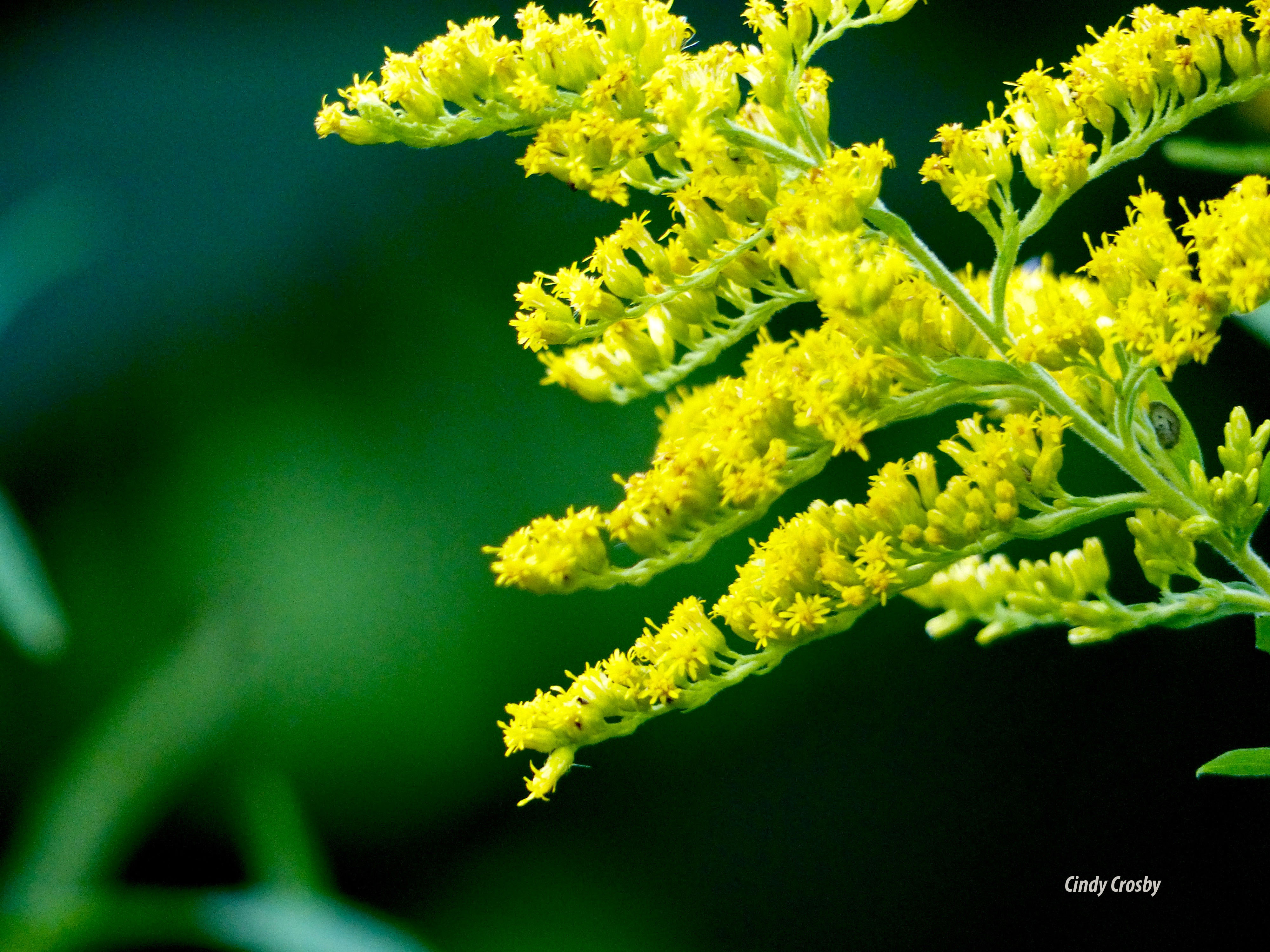 goldenrod818wm.jpg
