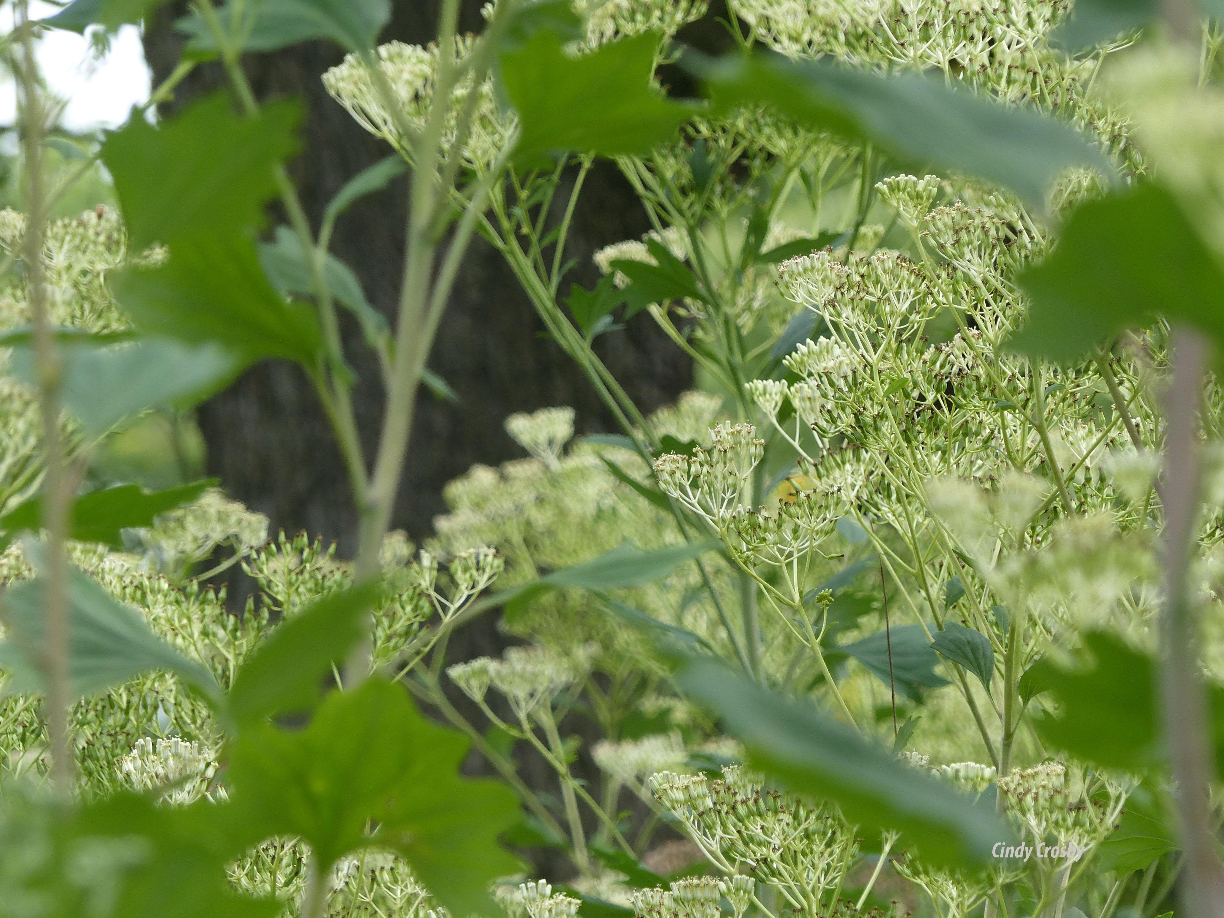 paleindianplantain818wm.jpg