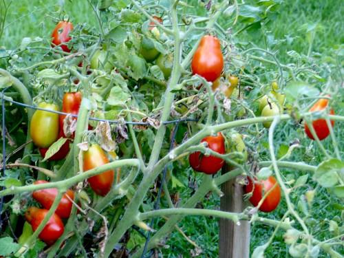 tomatoes82718wm.jpg
