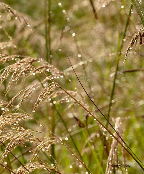 IndiangrassrainSPWM9318.jpg