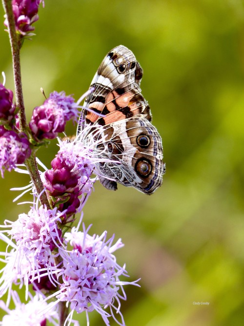 WMAmerican Painted Lady on Rough Blazing Star 83018NGCROSby.jpg