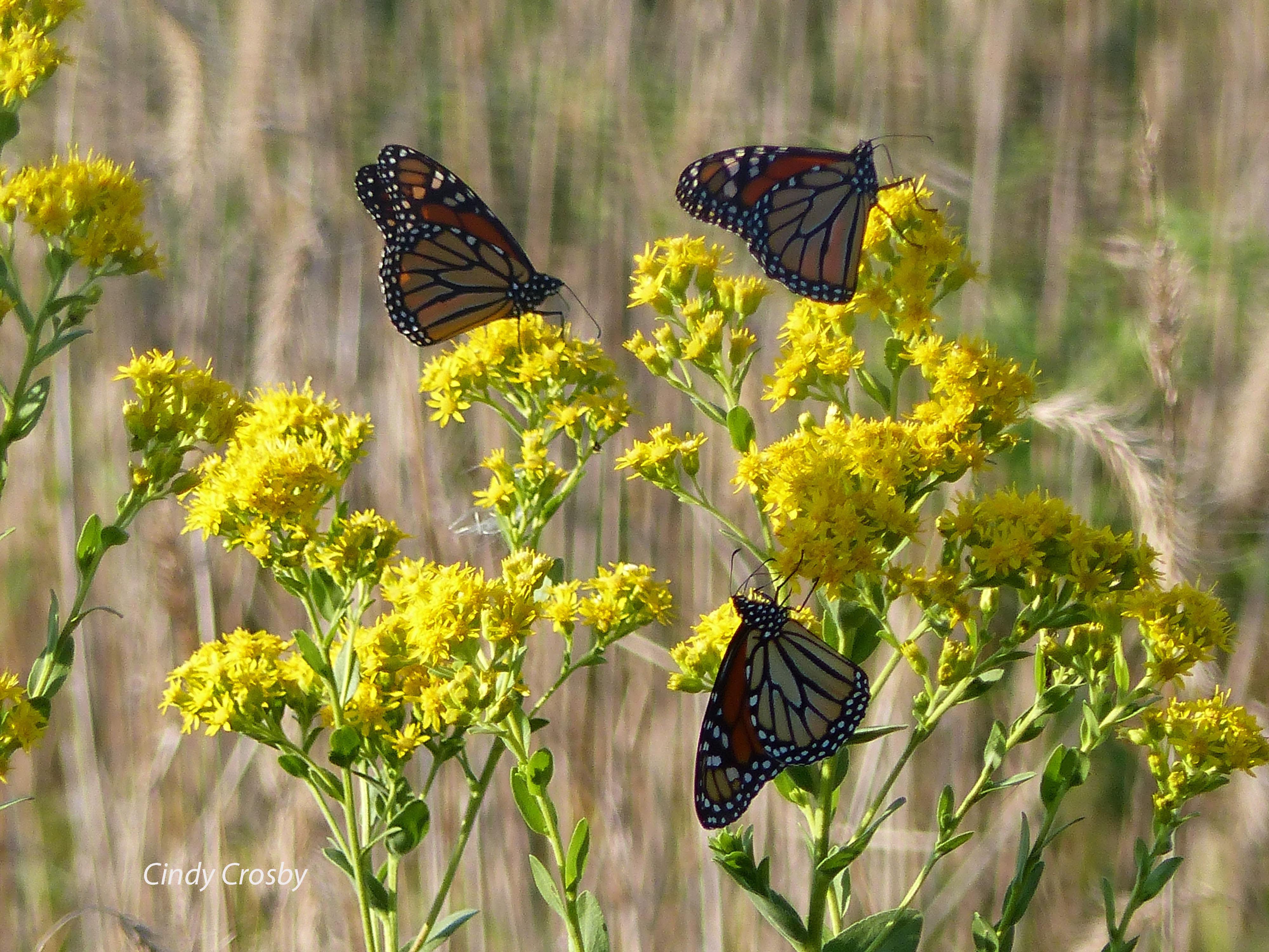 WMTrio of monarchs on stiff goldenrod KS91418