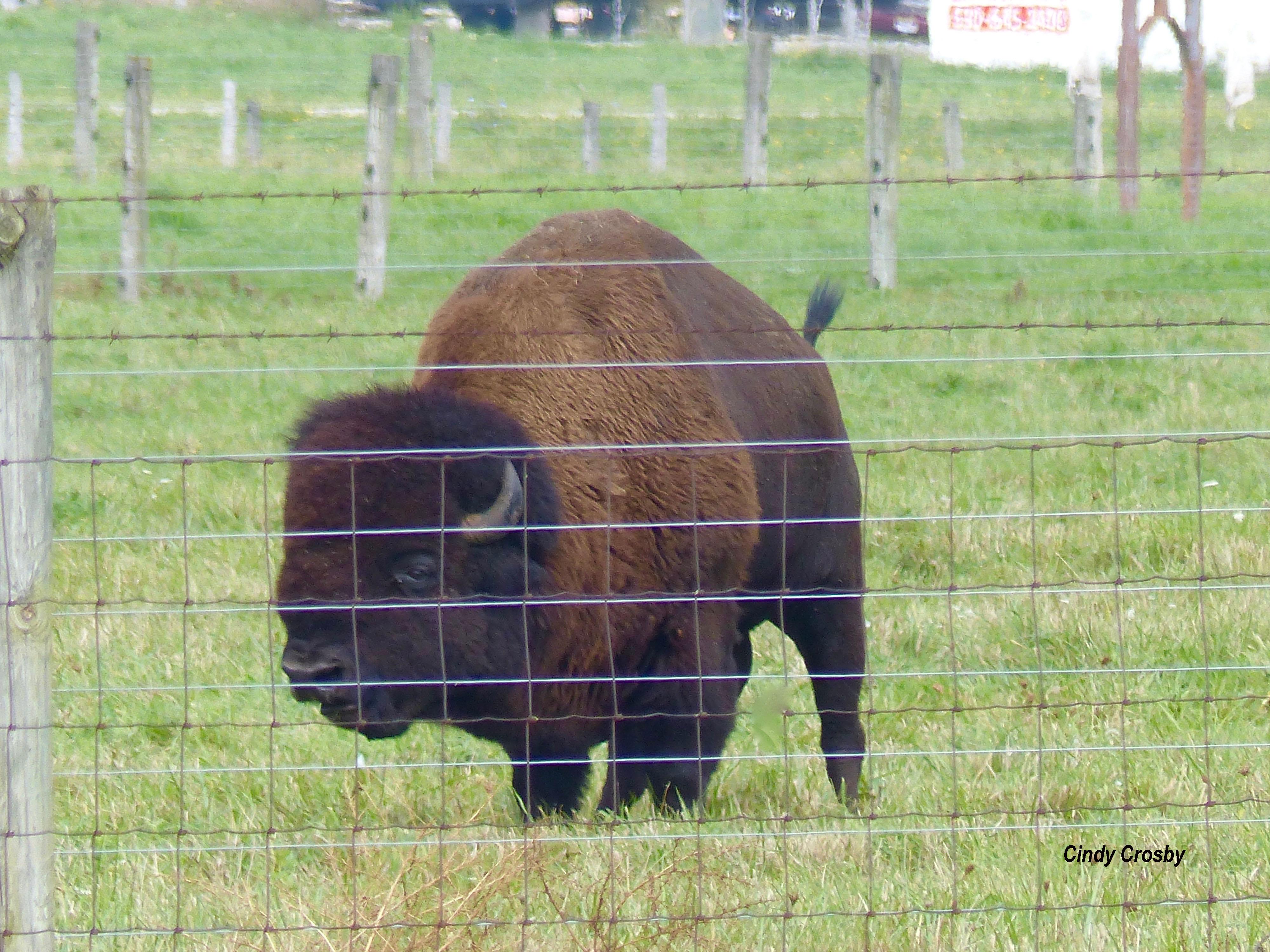 bisonFermi10118WM.jpg