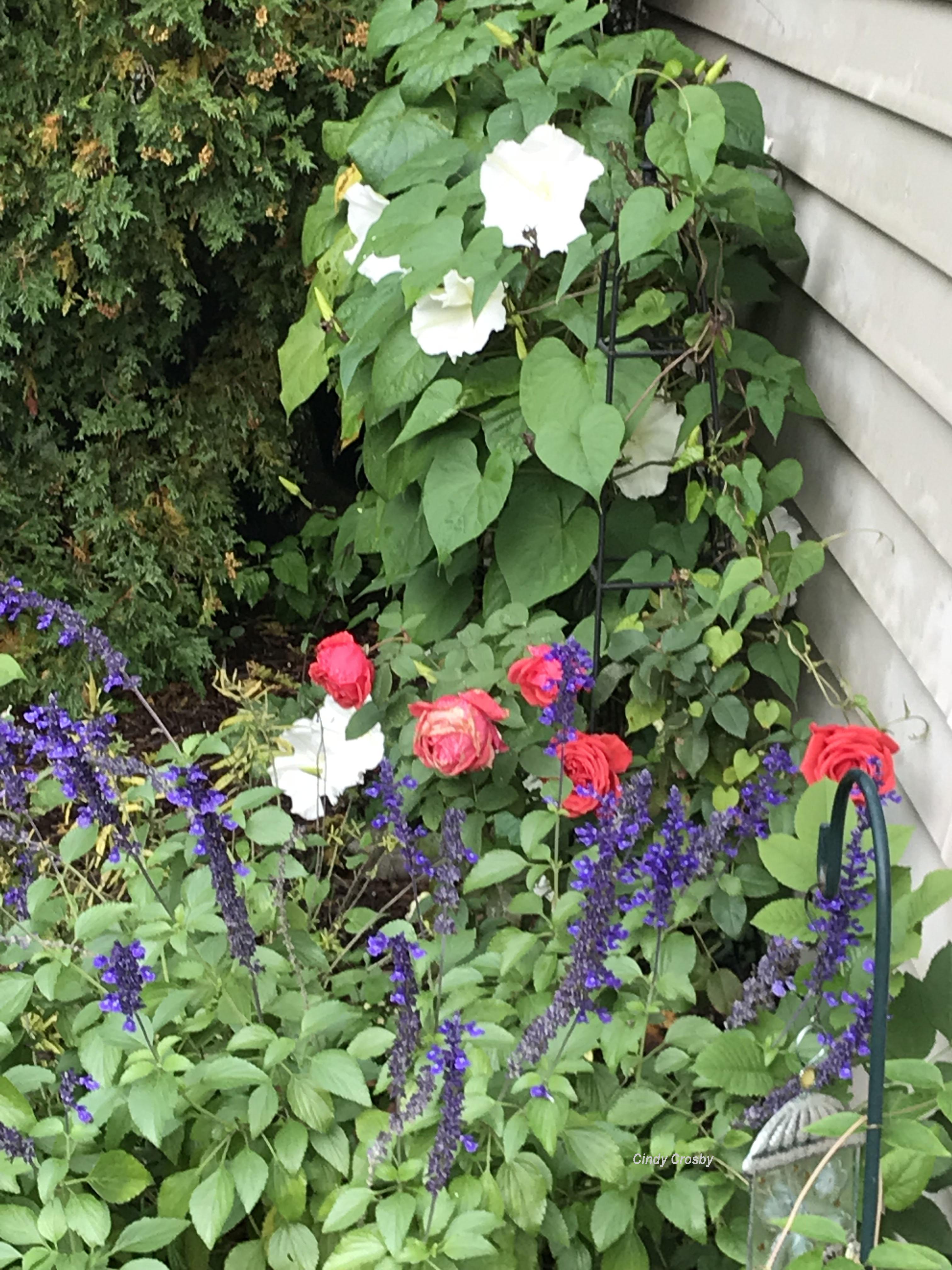 moonflower, roses, salvia 10-8-18WM