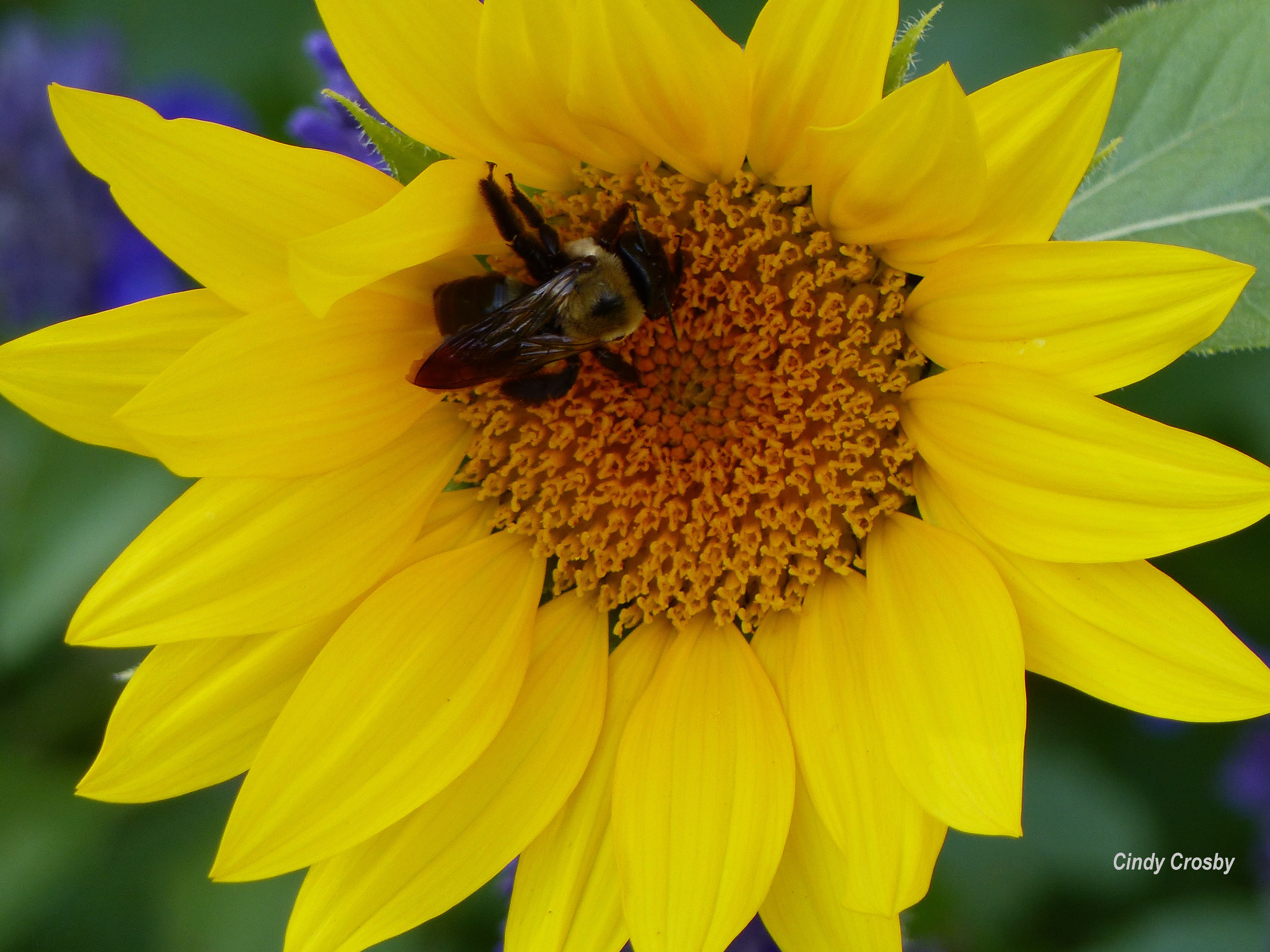 sunflowerWMbackyard1018.jpg