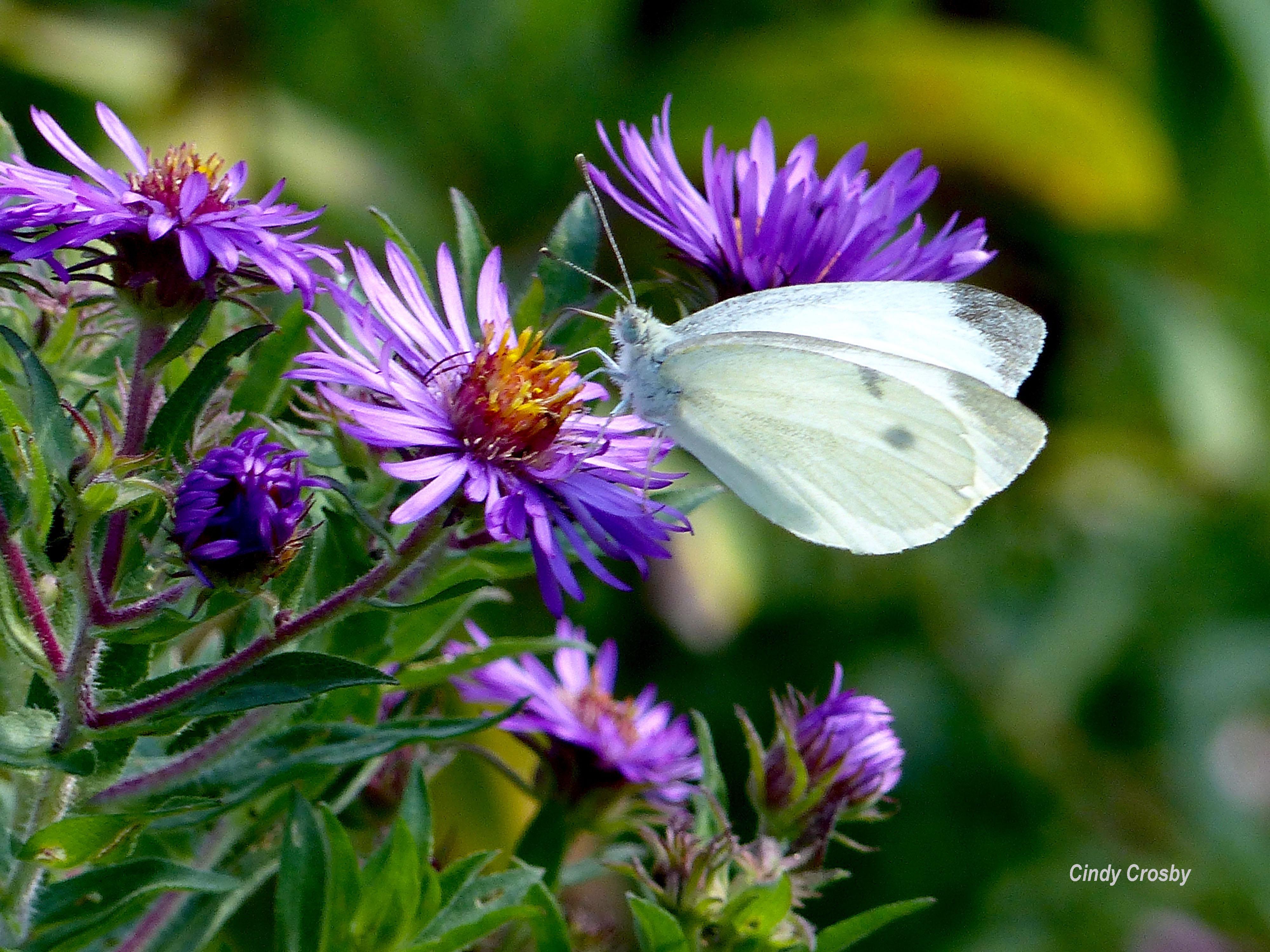 white butterfly WM 10818 backyard NEASTERS copy.jpg