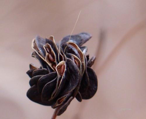 bundleflowerSPMAWM111218.jpg