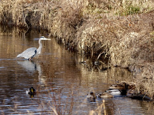 blue heron Dupage River restorationWMMA 12818.jpg