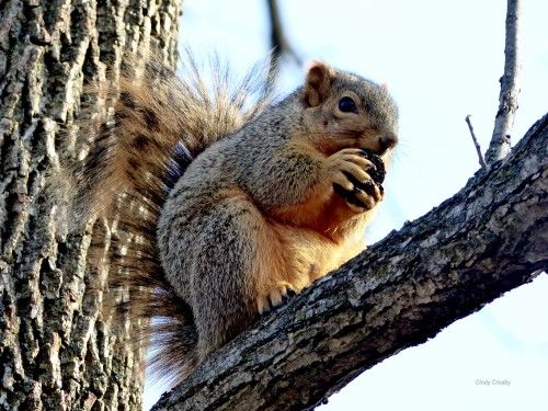 Squirrel in black walnut tree SPMAWM 12818 (12).jpg