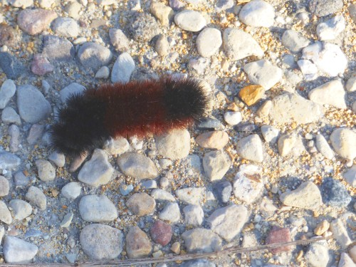 Woolly Bear 12818SPMAWM.jpg