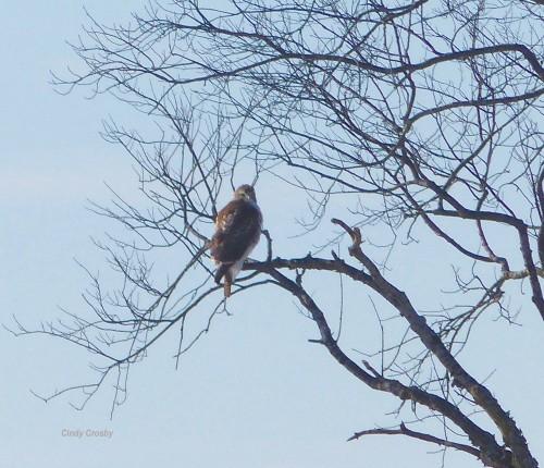 redtailedhawkSpringbrookprairieinitree12019WM.jpg