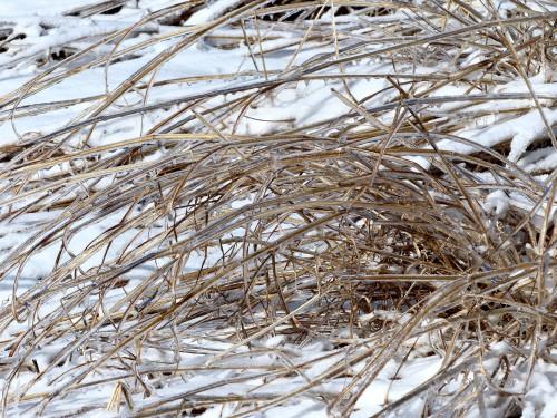 GrassesSPMAicestorm21319WM.jpg