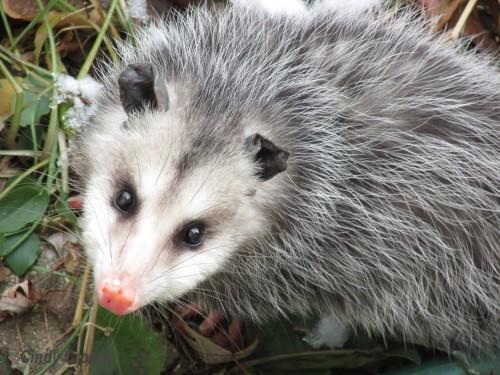 possum-WMbackyard.jpg