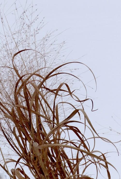 SPMA2219SwitchgrassWM.jpg