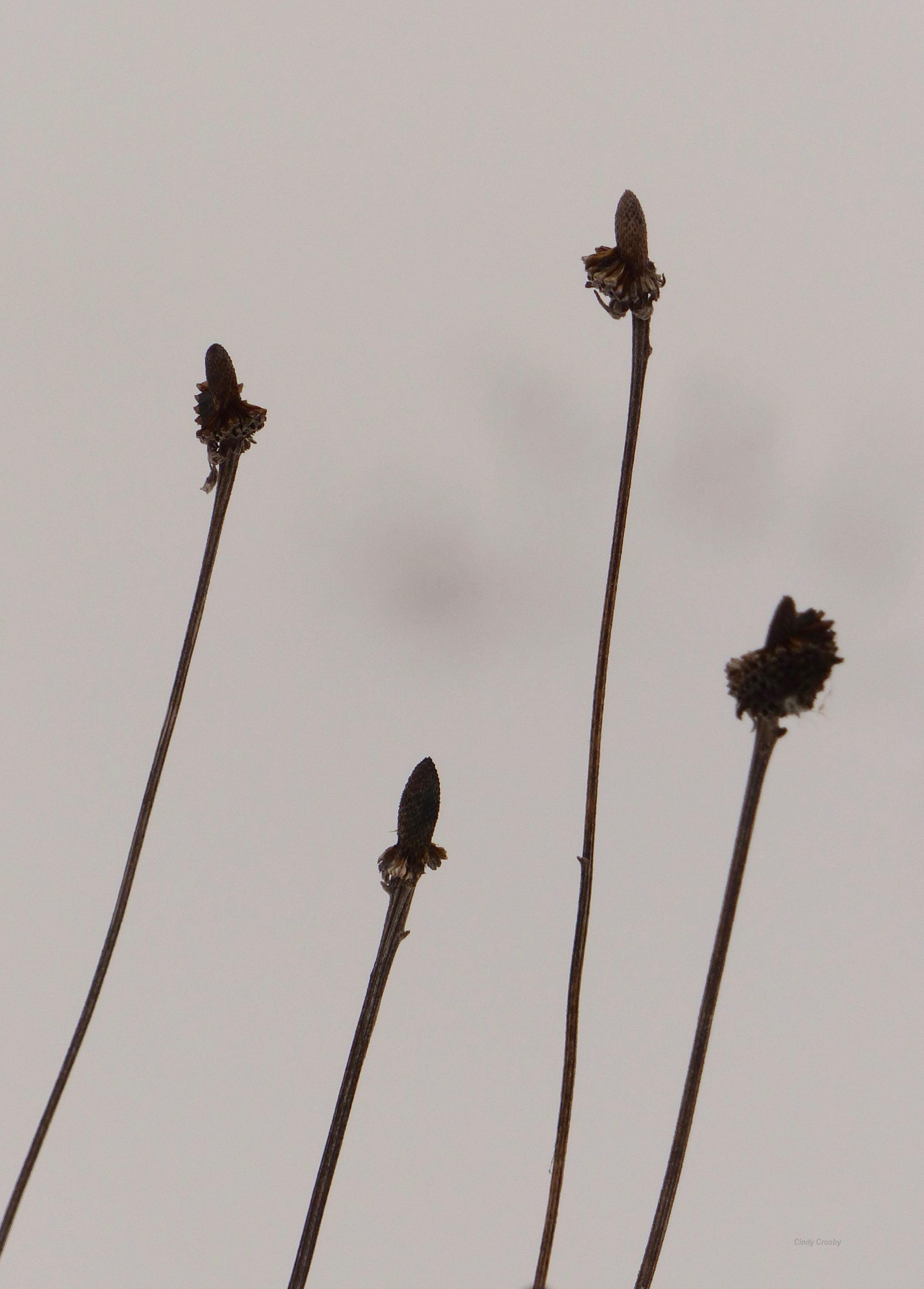 SPMAgrayheadedcflowers2219WM.jpg