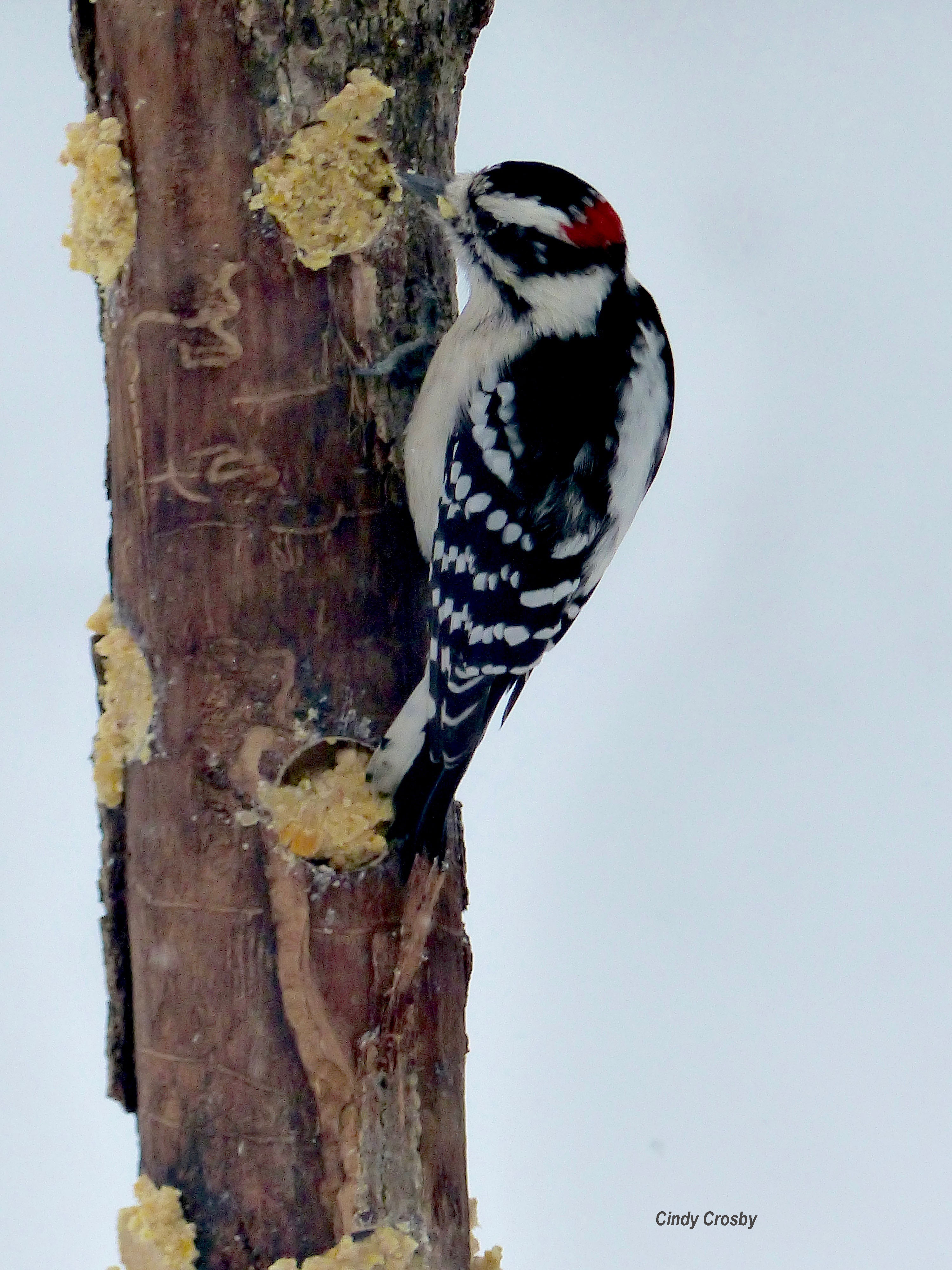 WoodpeckeronashfeederWMbarkbutter12719.jpg