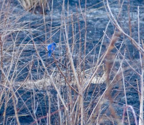 bluebirdandashesSPMA31819WM.jpg