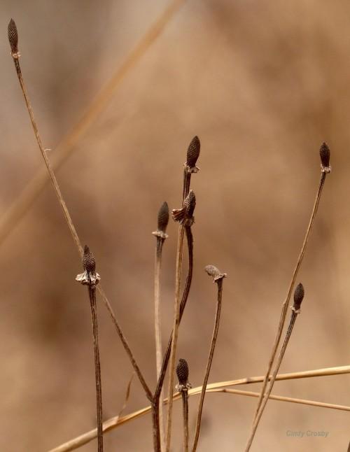 grayheadedconeflowersWM3219.jpg
