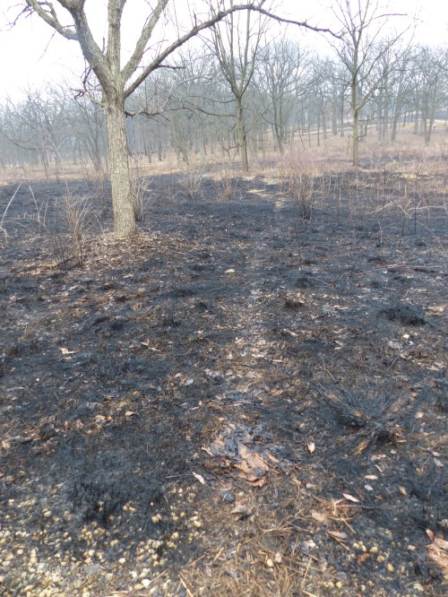 trail through burned prairieSPMA32019WM.jpg