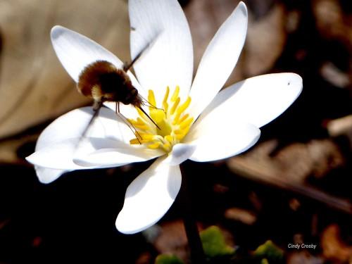Beefly on Sanguinara Canadensis WM41719.jpg