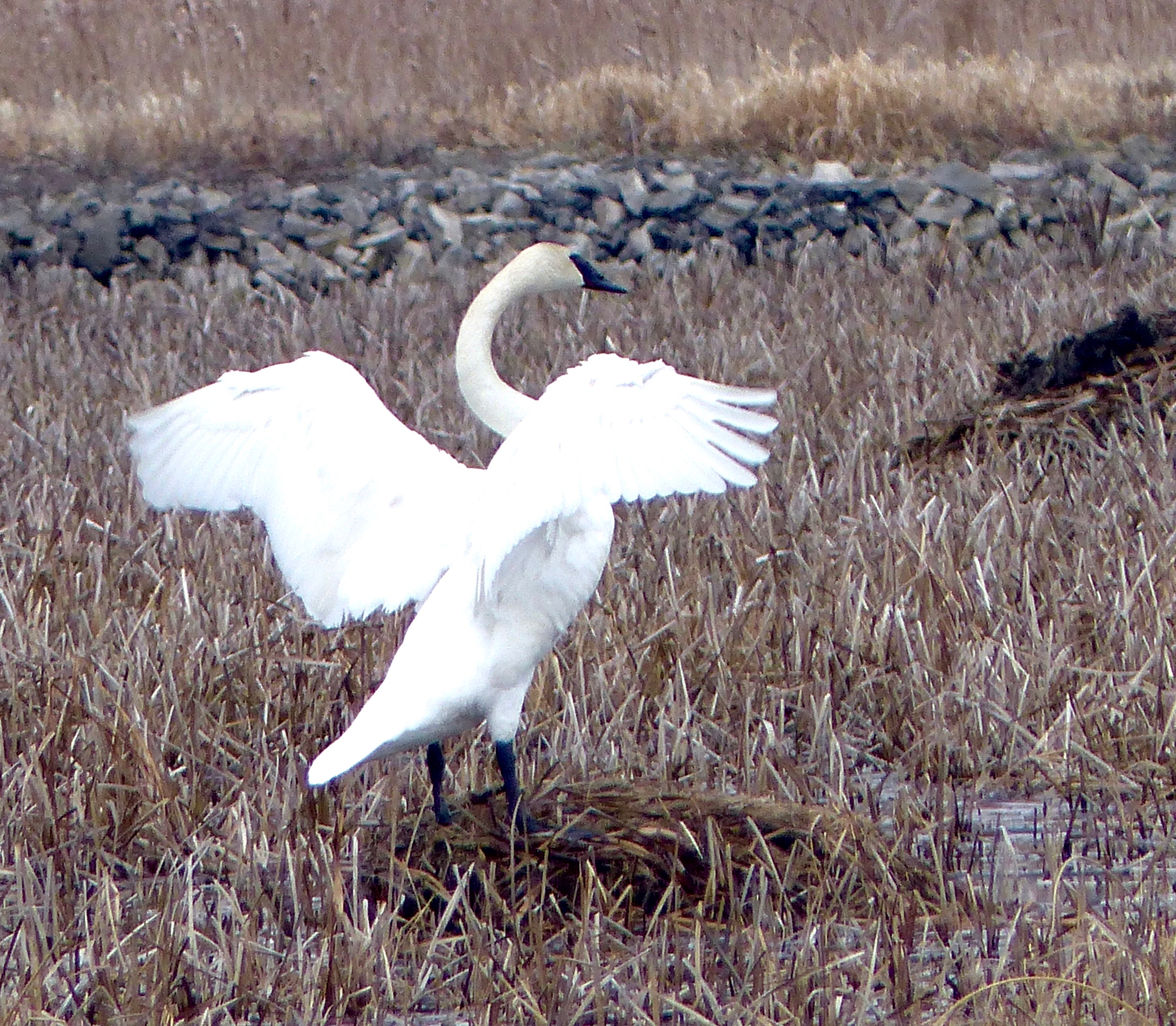 Horicon Marsh Swan 4719.jpg