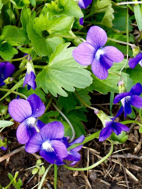 prairie violet-belmont prairie- 42919.jpg