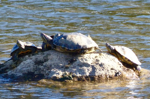 turtles-MeadowLake-MA-4819WM.jpg