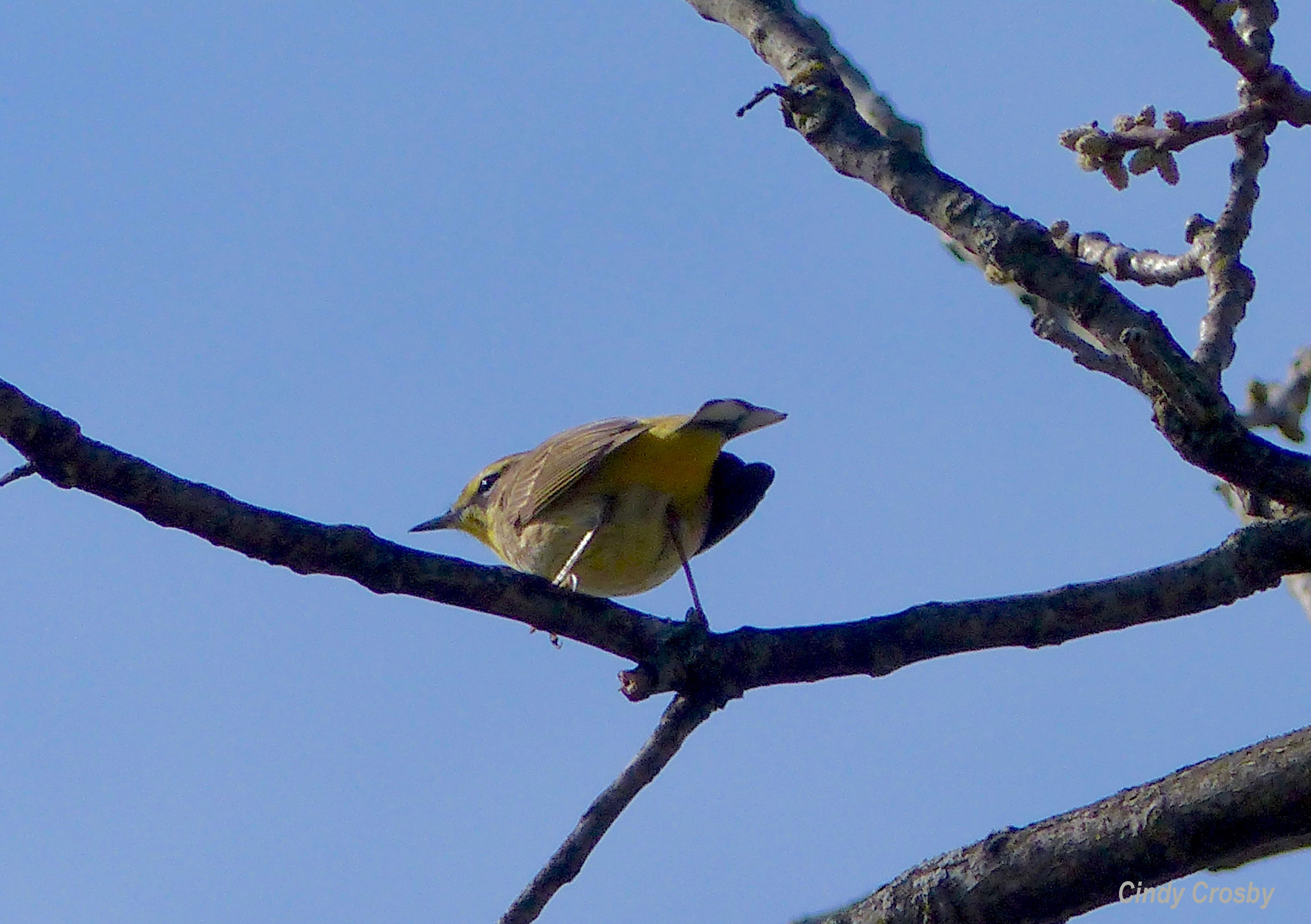 yellow rumped warbler SPMASAV 42219WM.jpg