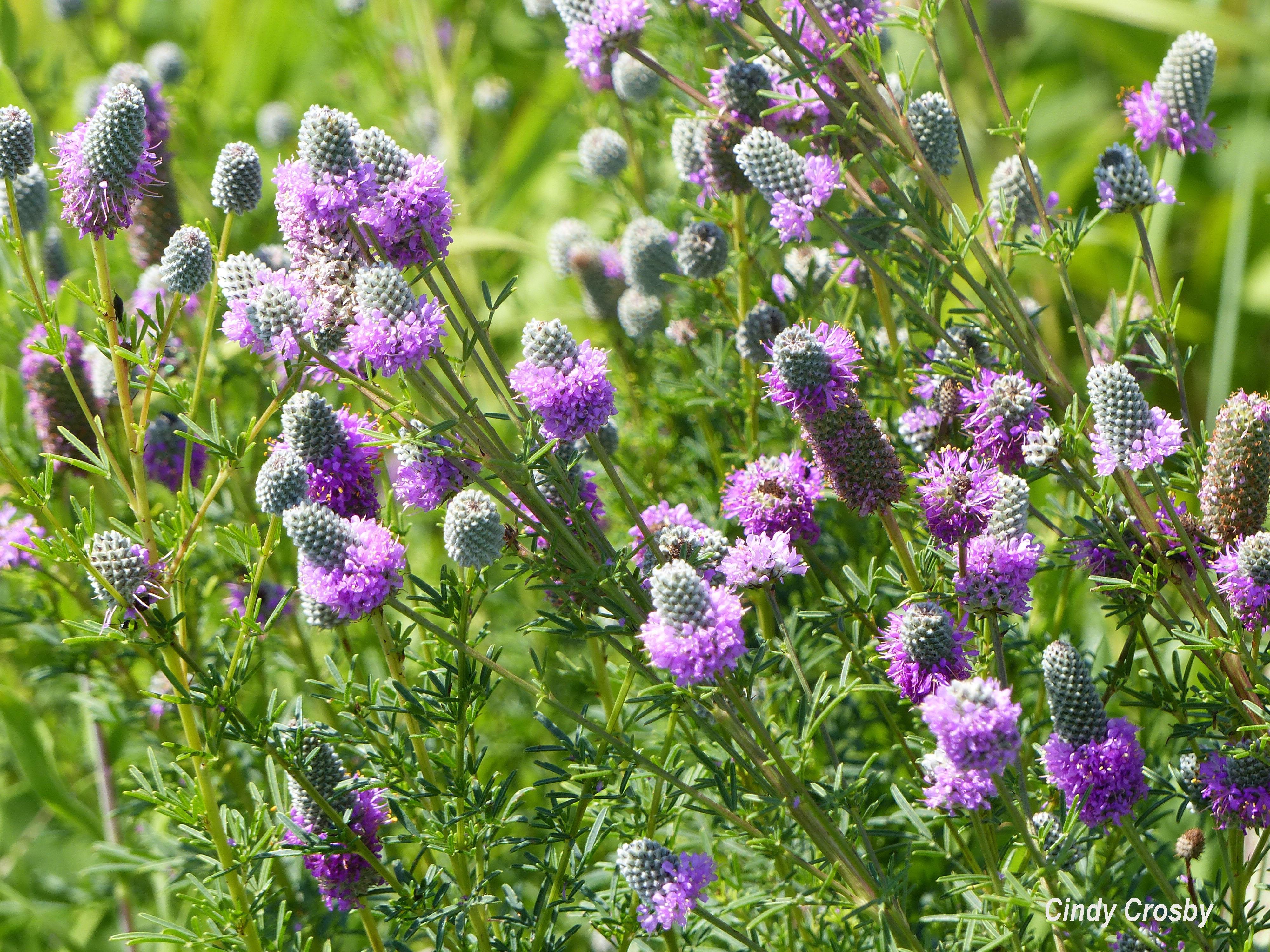 Purple Prairie Clover 7918 SPMAWM.jpg